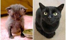 Pirms un pēc: uz ielas Jaunzēlandē atrasta kaķa pārvērtības divu gadu garumā