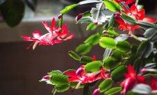 Kā pašu spēkiem pavairot Ziemassvētku kaktusu