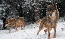 Ziemas saulgriežu tradīcijas: kas jāzina par vilka dienu un vilkačiem