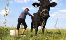 Valdība akceptē kārtību, kādā tiks piešķirts atbalsts piena ražotājiem