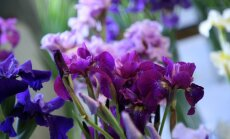 Когда пересаживать ирисы: весной или осенью?