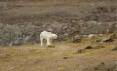 Skaudri kadri: Kanādā novērots izkāmējis polārlācis