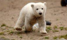 Beidzot atklāts slavenā Berlīnes polārlāča Knuta nāves iemesls