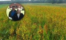 Vidzemnieku avantūra: Amatas novadā audzē kvinoju no Dienvidamerikas
