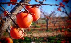 Košā hurma – veselīgs auglis, bet var cilvēkam arī kaitēt