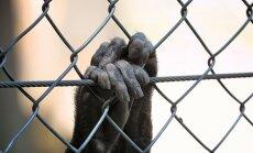 В Рижском зоопарке построят новые вольеры для зебр, обезьян и сурикатов