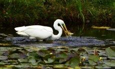 Krāšņi kadri: Lielais baltais gārnis notiesā maltīti