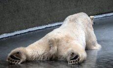 Foto: Ledus priekus Berlīnes zoodārzā izbauda polārlāči, kas zaudēja savu mazuli