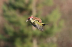 Фантастически редкое фото — ласка летит верхом на дятле