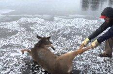 Два парня в свой обеденный перерыв спасли косулю от смерти на льду (видео)