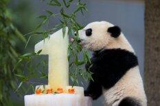 Pandu mazulis sajūsminās par svētku torti