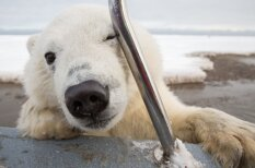 Kā izskatās, ja tavā laivā cenšas iekāpt leduslācis