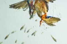 Iemūžināts, kā zivju dzenītis nirst pakaļ mielastam