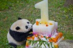 8 невероятно трогательных фотографий с первого дня рождения панды Бао-Бао
