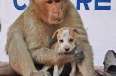 Pērtiķis adoptē kucēnu un sargā to no klaiņojošiem suņiem