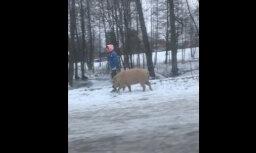 Video: Sieviete Rīgā izvedusi pastaigā brangu cūku