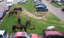 Vecmīlgrāvja autostāvvietā ganās zirgi