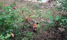 ФОТО: Юрмальчан встревожила привязанная во дворе дома лиса