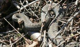 Čūska sakož pagalmā guļošu iereibušu vīrieti