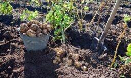 Palielinās risks, ka visu kartupeļu ražu šogad Latvijā neizdosies novākt