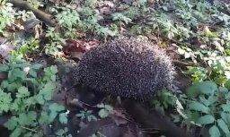 ФОТО, ВИДЕО: Ежик проснулся после зимней спячки