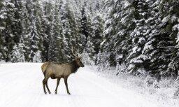 Šogad būtiski pieaudzis meža dzīvnieku izraisīto avāriju skaits