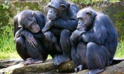 Ученые выяснили причину кровавой четырехлетней войны среди шимпанзе