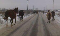 Gaišā dienas laikā Salaspils centra virzienā auļoja zirgu tabūns (aculiecinieka video)