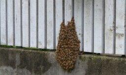 Rīgas ielā iemaldījusies bišu saime
