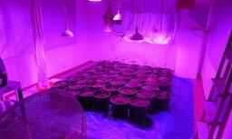 Foto: Varakļānu novadā likvidē marihuānas audzētavu