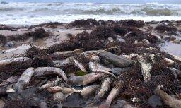 Foto: Staldzenes pludmalē izskalots lērums beigtu zivju