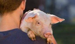 В свиньях начнут выращивать человеческие органы