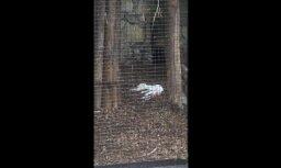 Aculieciniece satraukta par dzīvnieka līķi; zoodārzā stāsta – tās ir zvēra pusdienas