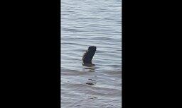 Video: Bebrs vannojas Saulkrastu pludmalē