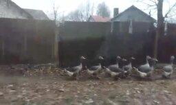Video: Rīgā gans izved pastaigā savu zosu ganāmpulku