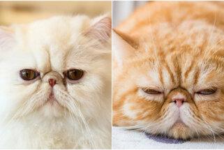 Vai dusmīgi? Divi līdzīgi kaķi, kuru izskatu ievēros ikviens