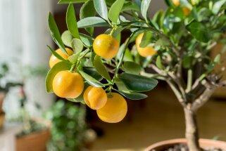 Kas jāievēro, lai citrusauga zaros ilgi saglabātos augļi