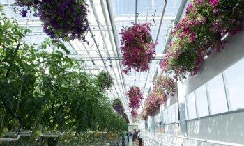 Foto: Getliņu siltumnīcās līdzās tomātiem un gurķiem audzē košumaugus podiņos