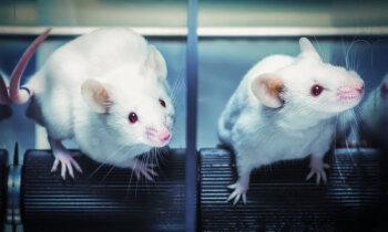 Tūkstošiem iemidzinātu laboratorijas dzīvnieku – neuzskaitītie pandēmijas upuri
