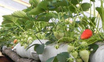 Foto: Kuldīgas pusē jau zied zemenes un gatavojas pirmās ogas