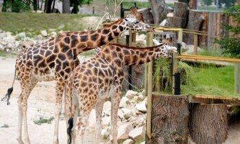 Rīgas zoo palikusi viena žirafe – viens pēc otra miruši pusbrāļi Piks un Periskops
