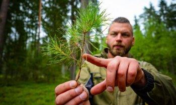 Vai mežs pēc kailcirtes ir miris? Kas notiek pēc harvesteru aizbraukšanas
