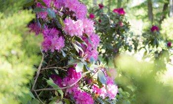 Ciemos: Agronomes Maijas Veinbergas veidotais rododendru mežs Engurē
