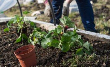 Agrā zemeņu raža siltumnīcā – kādas šķirnes izvēlēties un kā izaudzēt saldas ogas