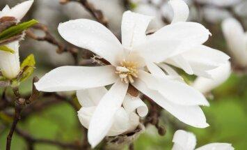 Foto: Pārdaugavā plaukst valdzinošās magnolijas