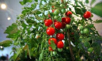 Lai laba tomātu raža – dārznieces ieteikumi stādu mēslošanai