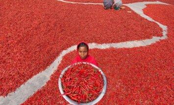 Neparasts skats: čili ražas laiks Bangladešā