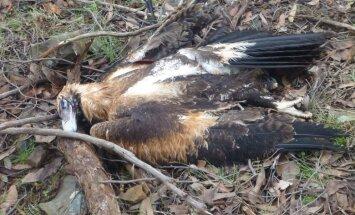 Austrālijā par aizsargājamas sugas ērgļu masveida nogalināšanu aizturēts vīrietis
