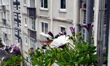 Sūcējsnuķainis vai kolibri – lasītāja pamana mulsinošu lidoni