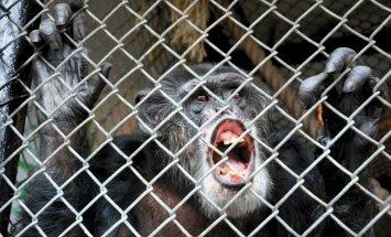 ASV tiesa noraida cilvēktiesību piemērošanu šimpanzēm